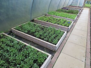 Salad beds at le Manoir