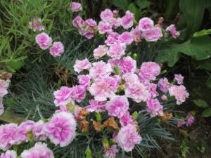 Dianthus 'Iced Gen'