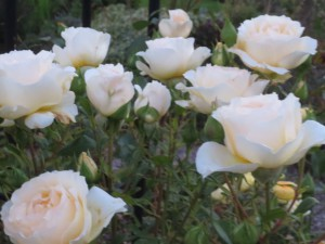 rose a whiter shade of pale