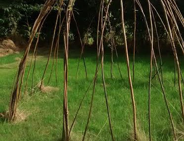 Creating living willow structures
