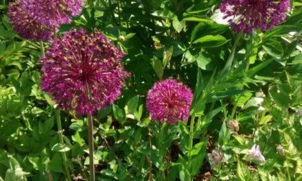 Alliums in bloom