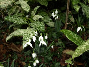 Snowdrops with Ivy