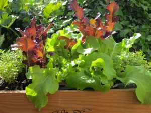 lettuce and thyme box