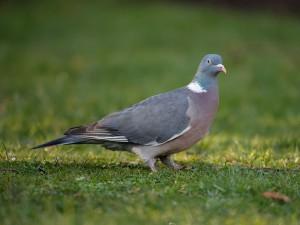wood-pigeon-jl